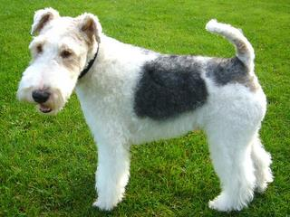 wired fox terrier.JPG